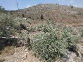 الاحتلال يقتلع أكثر من 200 شجرة زيتون في بيت دجن شرق نابلس