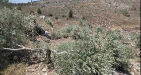 الاحتلال يقتلع أكثر من 200 شجرة ...